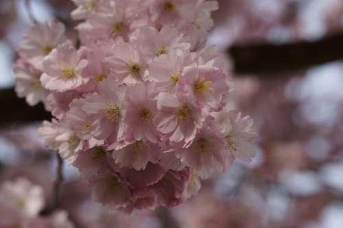 Cherry Blossom Blossom Bloom Spring Blossom
