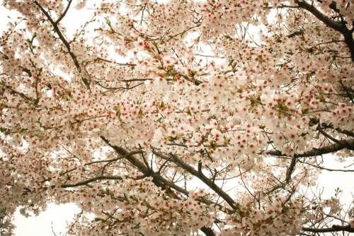 Cherry Blossom Flowers Spring Sakura