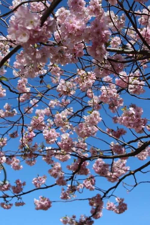 Cherry Blossom Cherry Flowers Cherry Spring