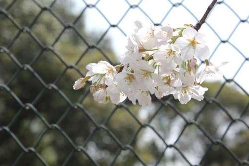 Cherry Blossom Tennis Court Network Bar Spring