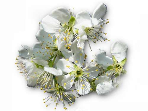 Cherry Blossoms Hell White Spring Risen Bee Pollen