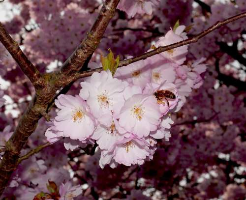 Cherry Blossoms Blossom Bloom Japanese Cherry Trees