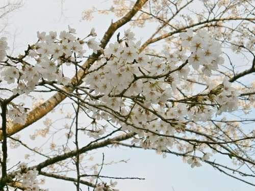 Cherry Blossoms Cherry Tree Cherry Blossom Spring