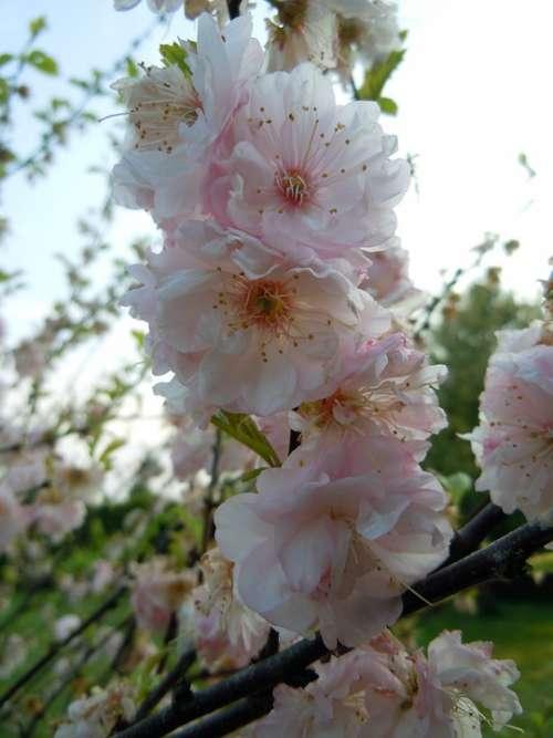 Cherry Blossoms Japanese Cherry Blossom Bloom