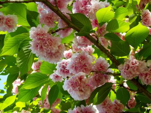 Cherry Tree Blossoms Flowers Spring Pink Branch