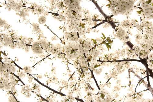 Cherry Tree Flowers White Flower Nature Spring