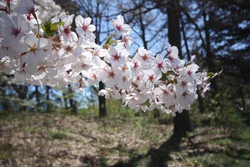 Cherry Tree Cherry Blossom Branch Blossom Flowers