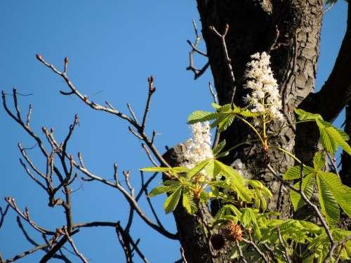Chestnut Blossom Chestnut Blossom Bloom Tree