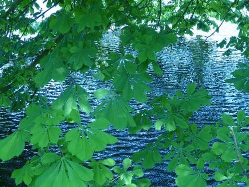 Chestnut Leaves Chestnut Nature Water Lake