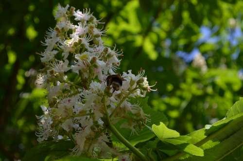 Chestnut Tree Chestnut Blossom Inflorescence