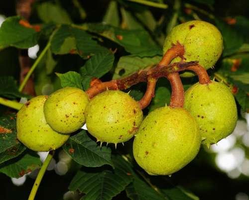 Chestnut Tree Chestnut Green Immature Summer