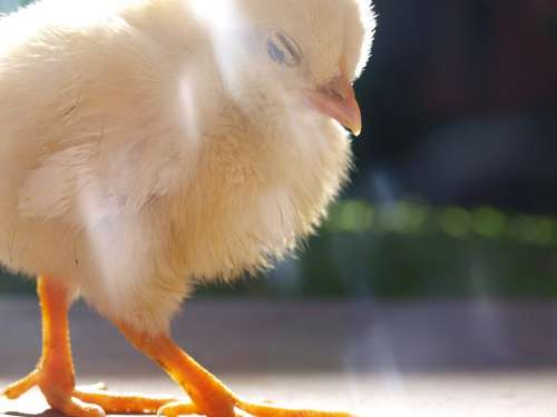 Chick Fowl Chicken Bird Poultry Feather Domestic