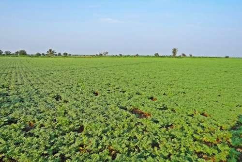 Chickpea Cultivation Bengal Gram Cicer Arietinum
