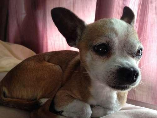 Chihuahua Dog Pet Animal Small Cute Miniature