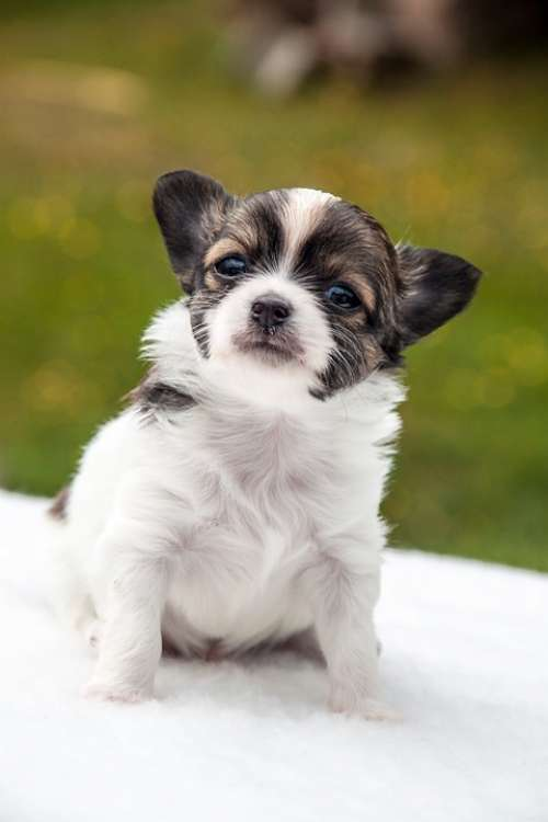 Chihuahua Puppy Animals Dogs Pet Cute