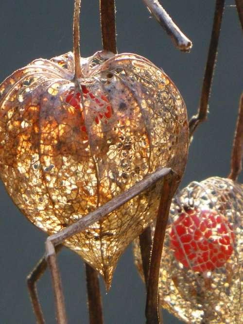 Chinese Lanterns Autumn Autumn Decoration Autumn Sun