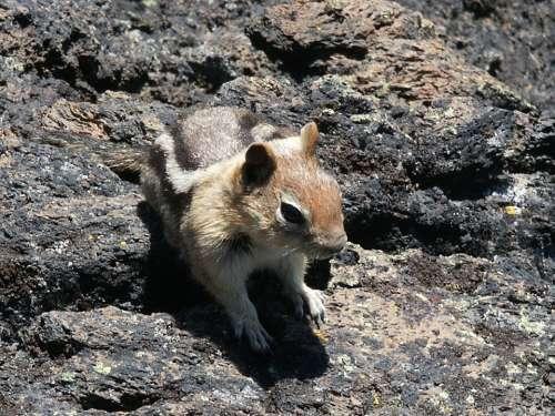 Chipmunk Nature Animal Wildlife Mammal Furry Cute