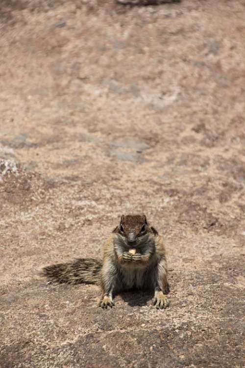 Chipmunk Frontal Nager Rodent Squirrel Furry