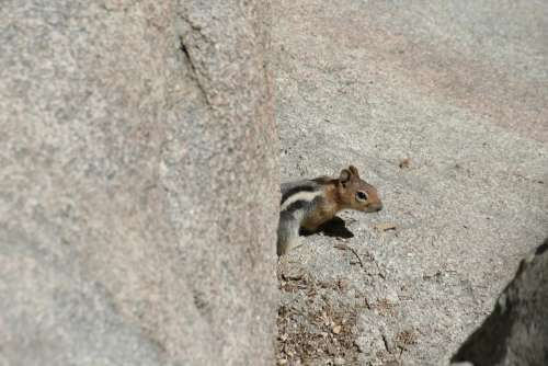 Chipmunk Critter Creature Animal Cute Wildlife