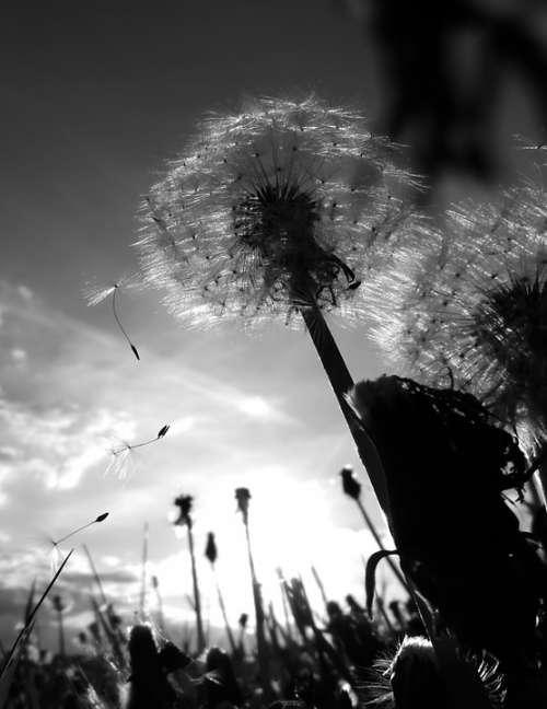 Chmíří Dandelion Flies Dandelions Flower Plant