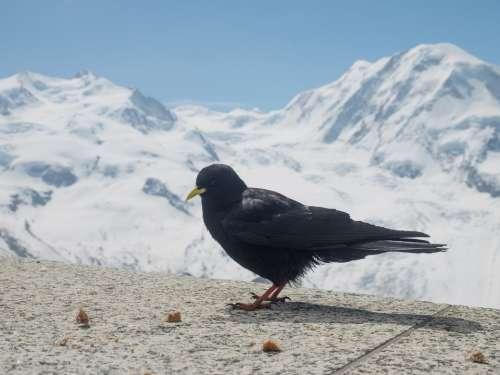 Chough Jackdaw Bergdohle Bird Switzerland Valais