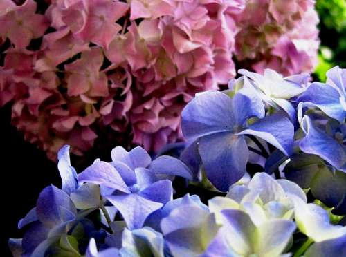 Christmas Rose Pink Blue Petals Florets