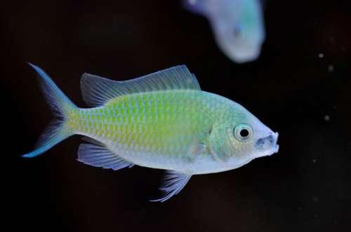 Chromis Viridis Marine Aquarium Fish
