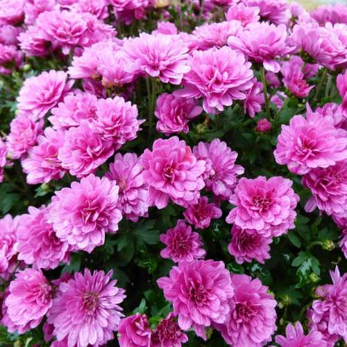 Chrysanthemum Bolchrysant Purple Autumn Flowers