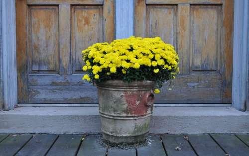 Chrysanthemums Yellow Flowers Mums Chrysanthemum