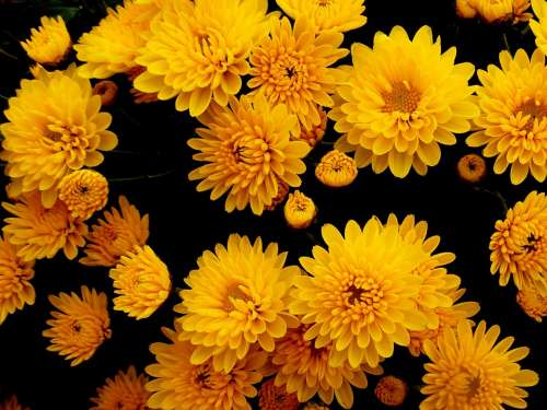 Chrysanthemums Flowers Yellow Autumn Flower Nature