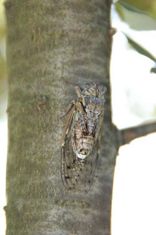 Cicada South Insect Provence