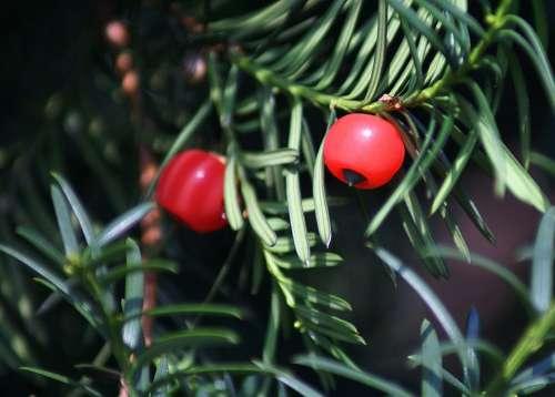 Cis Fruit Red Coniferous Bush Needles Food Birds