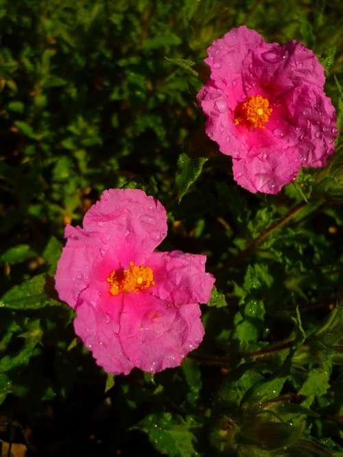 Cistus White Flowers Rosa Green Spring Wet Rain