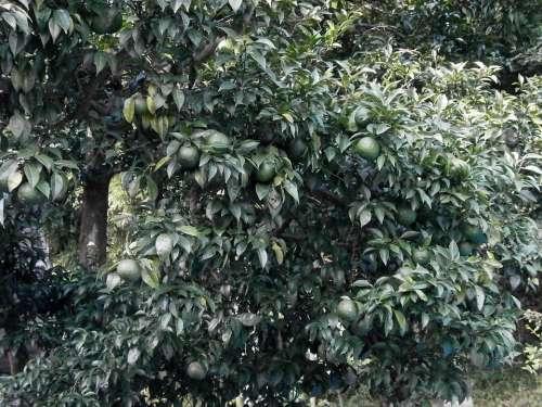 Citron Blue Fruit Immature Arboretum Leaf Green