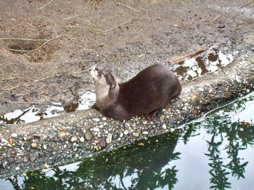 Clawed Otter Enjoy Zoo Taster Water