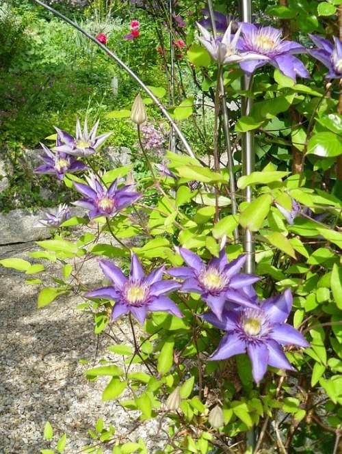 Clematis Flowers Garden Blossom Bloom Purple