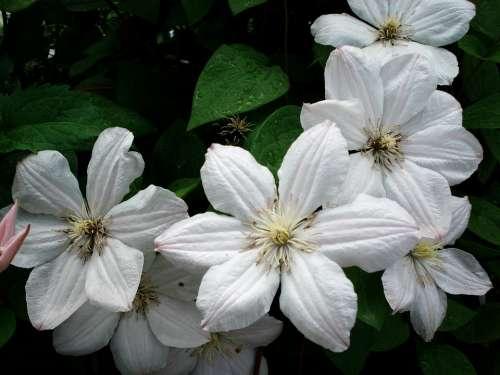 Clematis Flower White White Clematis
