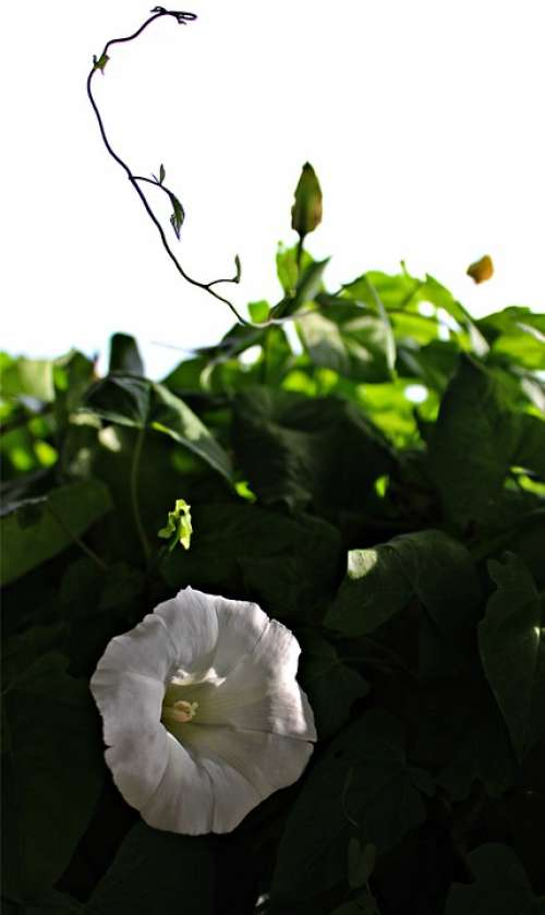 Climber Plant White Blossom Bindweed Plant