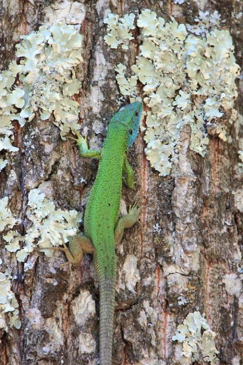 Climbing Forest Green Lacerta Lizard Trees