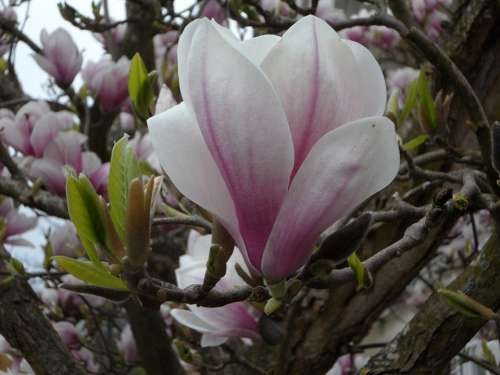 Close Up Blossom Bloom Magnolia Bloom Spring