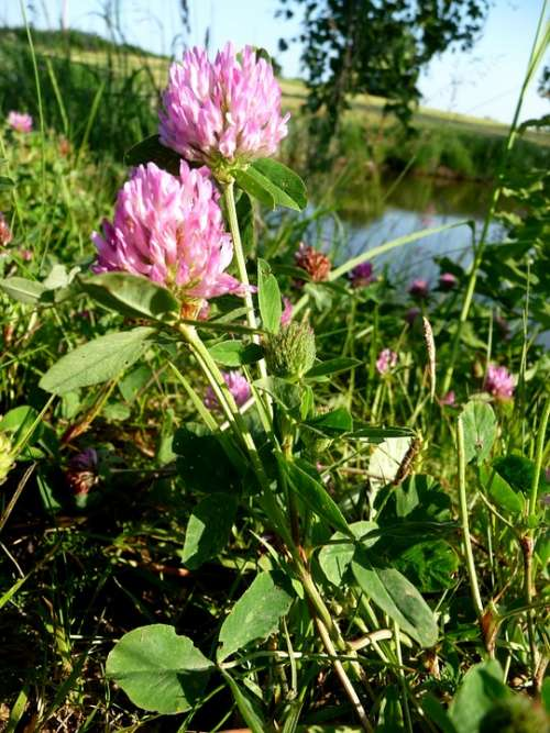 Clover Nature Plant Flower Green Meadow