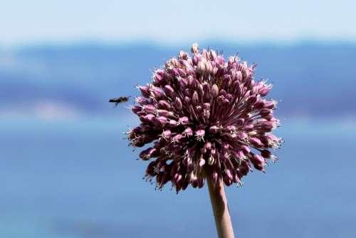 Clover Flower Bee Purple Flower Macro Plant