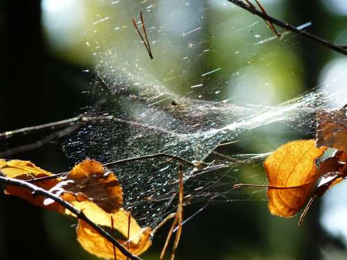 Cobweb Spider Web Nature Insect Animal Close Up