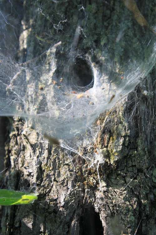 Cobweb Nest Spider Tunnel Web Insects