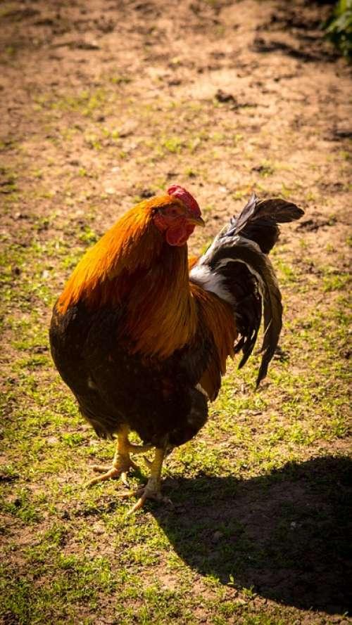 Cock Bird Village Grass Green Nature