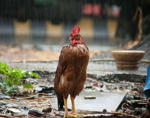 Cock Rain Bird Wet Farm Animal India Poultry