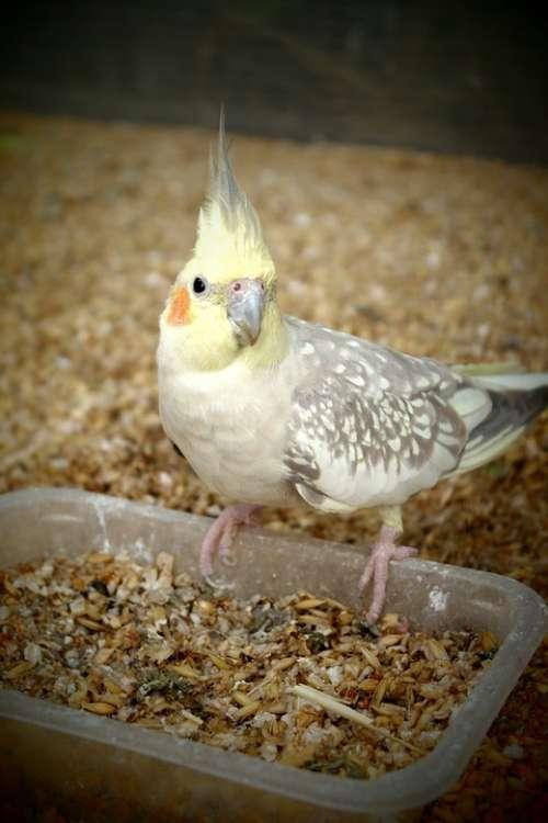 Cockatiel Parrot Feeding Animal Pet