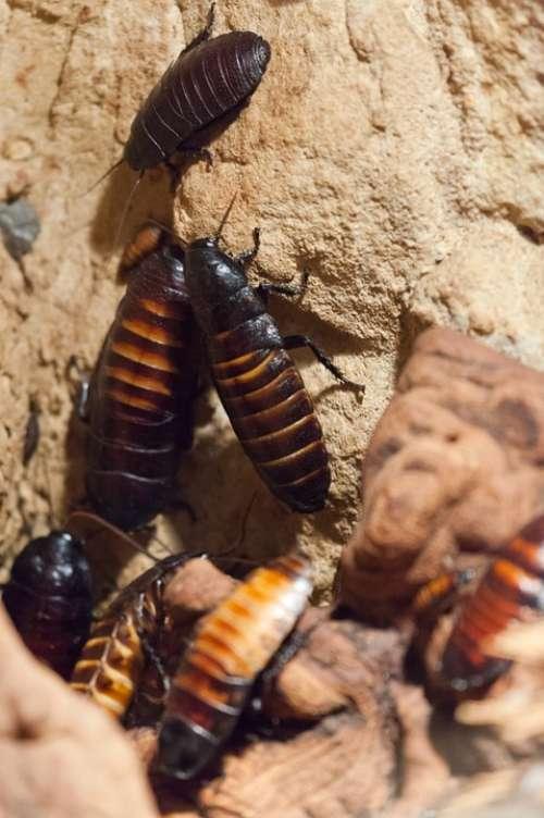 Cockroaches Animal Beetle Bug Cockroach Creepy