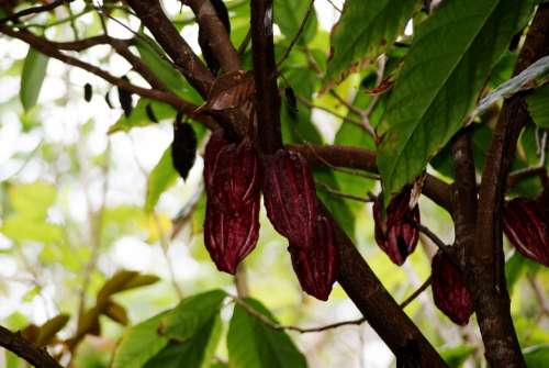 Cocoa Nature Leaf Branches Tree Reunion Island