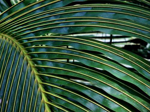 Coconut Palm Leaf Tree Texture Tropical Nature